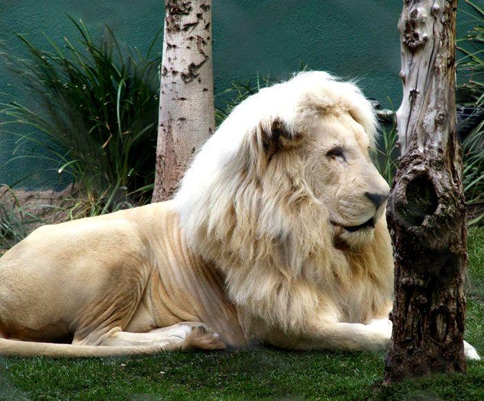 Lion mythologique  dans LION 2eu9utrb