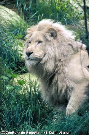 Lion 5 dans LION cjlhzcxx